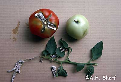 trichothecium rot on tomato