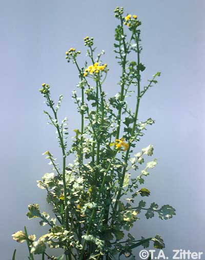 Cressleaf groundsel photos
