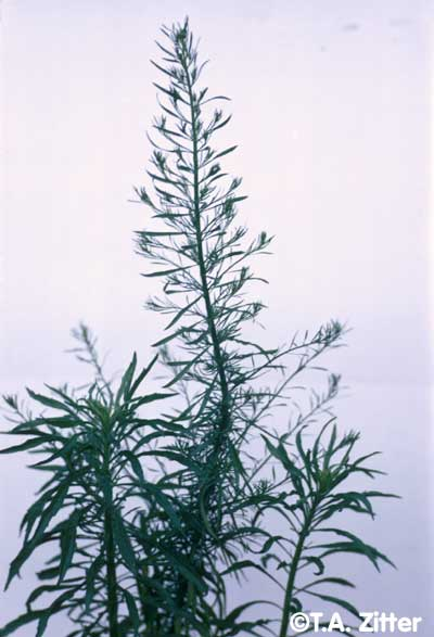 Horseweed photo