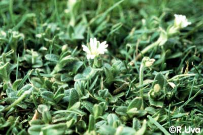 Mouseear chickweed